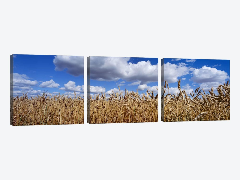 Fluffy Clouds Over A Wheat Crop, Alberta, Canada by Panoramic Images 3-piece Canvas Art