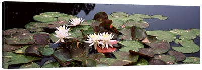 Water lilies in a pond, Sunken Garden, Olbrich Botanical Gardens, Madison, Wisconsin, USA Canvas Art Print