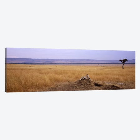 Cheetah (Acinonyx jubatus) sitting on a mound looking backMasai Mara National Reserve, Kenya Canvas Print #PIM7245} by Panoramic Images Canvas Art
