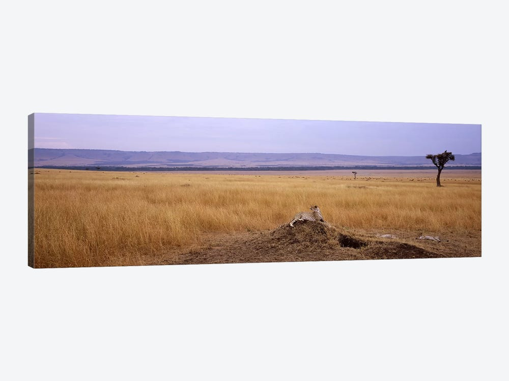 Cheetah (Acinonyx jubatus) sitting on a mound looking backMasai Mara National Reserve, Kenya by Panoramic Images 1-piece Canvas Artwork