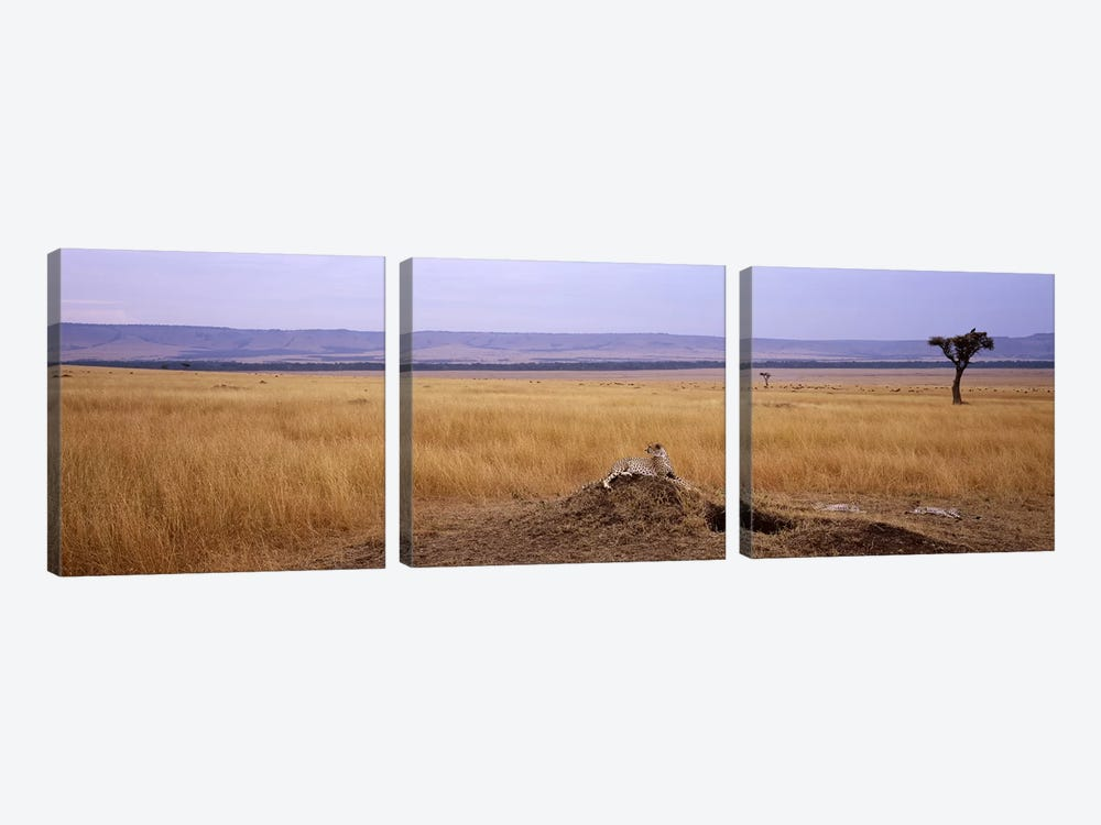 Cheetah (Acinonyx jubatus) sitting on a mound looking backMasai Mara National Reserve, Kenya by Panoramic Images 3-piece Canvas Artwork