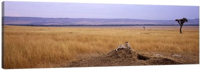 Cheetah (Acinonyx jubatus) sitting on a mound looking backMasai Mara National Reserve, Kenya Canvas Art Print