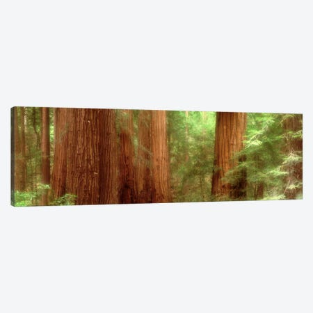 Redwood Trees, Muir Woods, California, USA, Canvas Print #PIM726} by Panoramic Images Canvas Wall Art