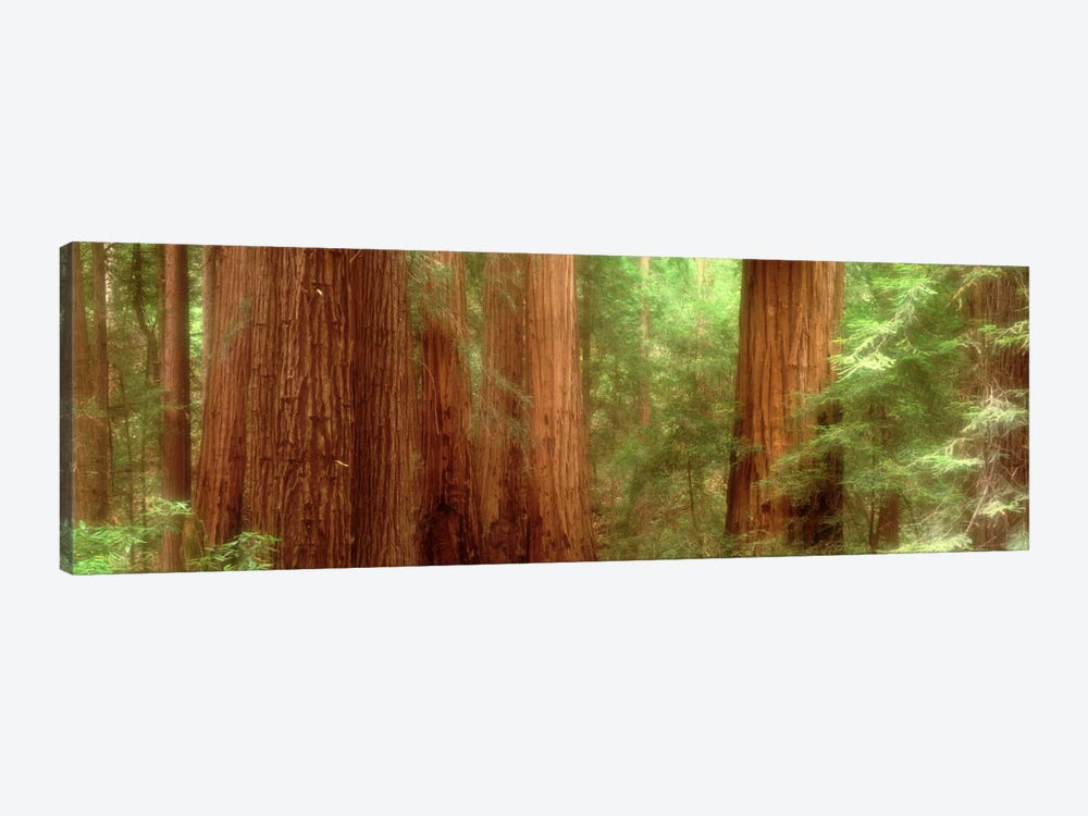 Redwood Trees, Muir Woods, California, USA, by Panoramic Images 1-piece Canvas Art Print