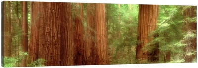 Redwood Trees, Muir Woods, California, USA, Canvas Art Print