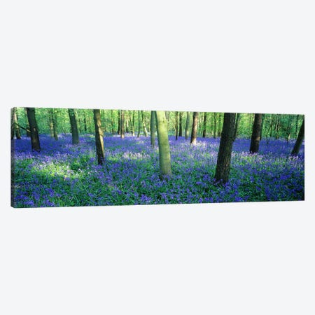 Bluebells in a forest, Charfield, Gloucestershire, England Canvas Print #PIM7278} by Panoramic Images Canvas Artwork