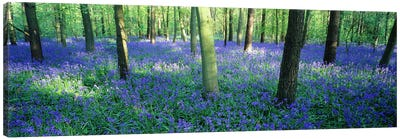 Bluebells in a forest, Charfield, Gloucestershire, England Canvas Art Print