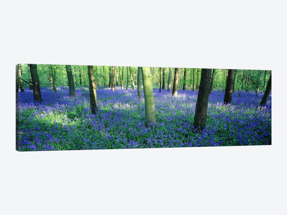 Bluebells in a forest, Charfield, Gloucestershire, England by Panoramic Images 1-piece Canvas Artwork