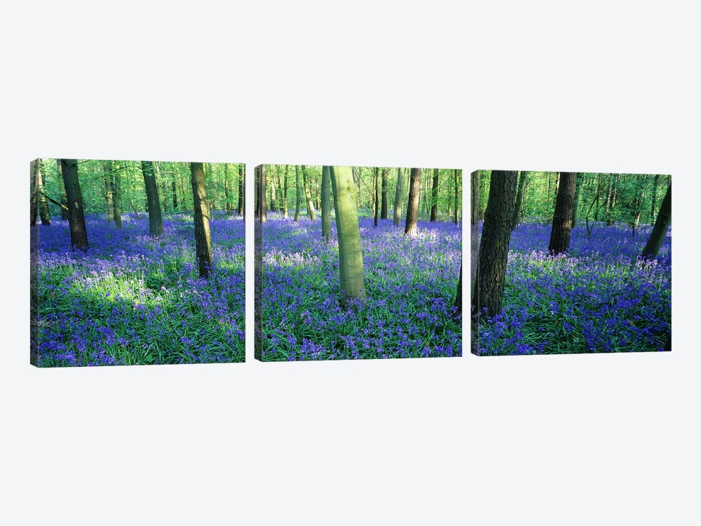 Bluebells in a forest, Charfield, Gloucestershire, England by Panoramic Images 3-piece Canvas Artwork