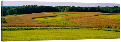 Field Of Corn Crops, Baltimore, Maryland, USA Canvas Art Print