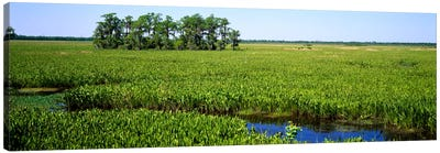 Plants on a wetland, Jean Lafitte National Historical Park And Preserve, New Orleans, Louisiana, USA Canvas Art Print