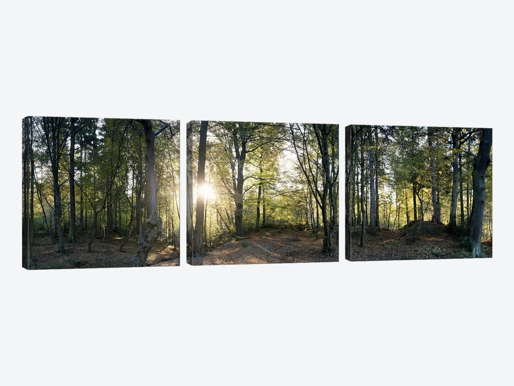 Trees in a forestBlack Forest, Freiburg im Breisgau, Baden-Wurttemberg, Germany 3-piece Art Print