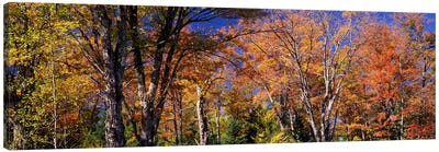 Trees in autumn, Vermont, USA Canvas Art Print