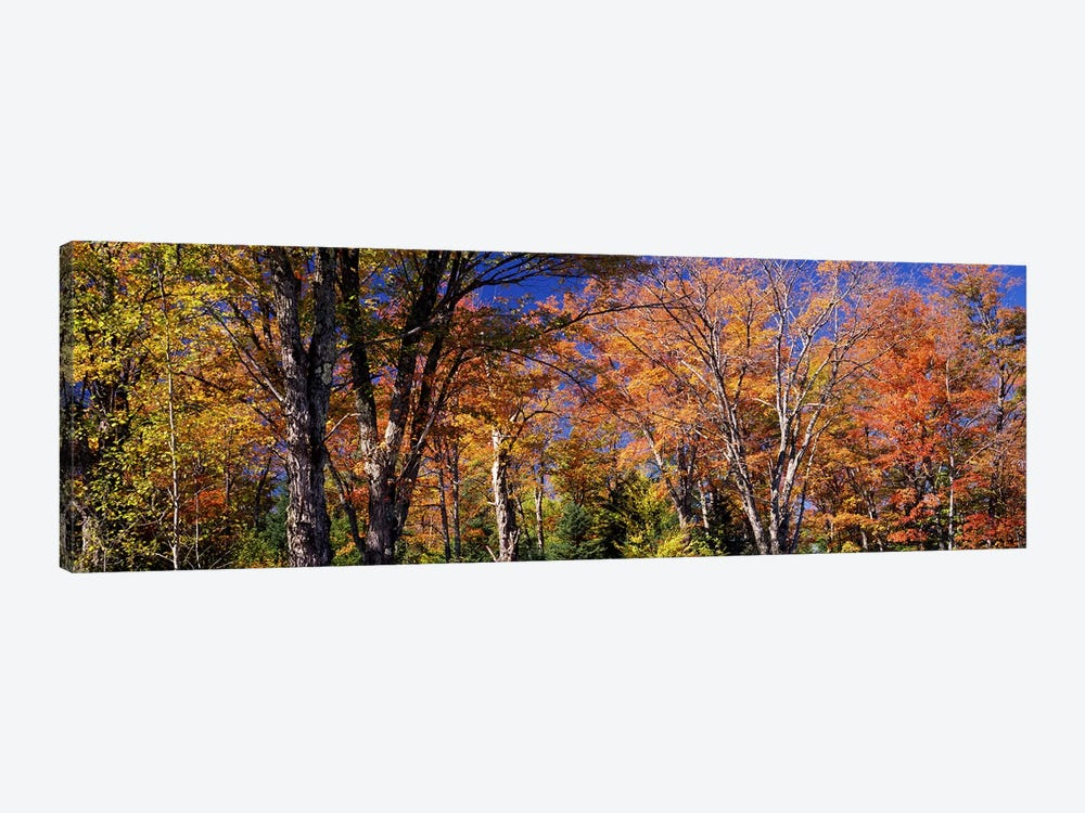 Trees in autumn, Vermont, USA by Panoramic Images 1-piece Art Print