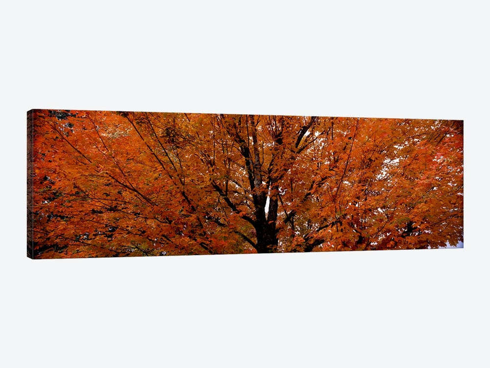 Maple tree in autumnVermont, USA by Panoramic Images 1-piece Canvas Artwork