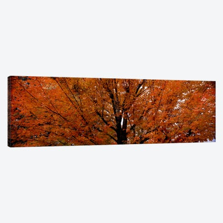 Maple tree in autumnVermont, USA 3-Piece Canvas #PIM7445} by Panoramic Images Canvas Art