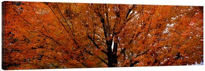 Maple tree in autumnVermont, USA Canvas Art Print