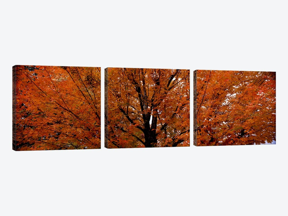 Maple tree in autumnVermont, USA by Panoramic Images 3-piece Canvas Art