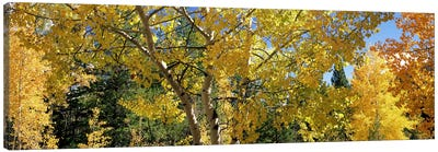 Aspen trees in autumn, Colorado, USA Canvas Print #PIM7460