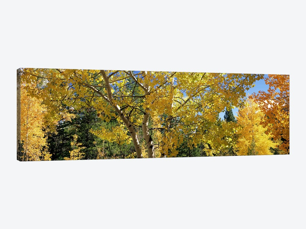 Aspen trees in autumn, Colorado, USA 1-piece Canvas Print