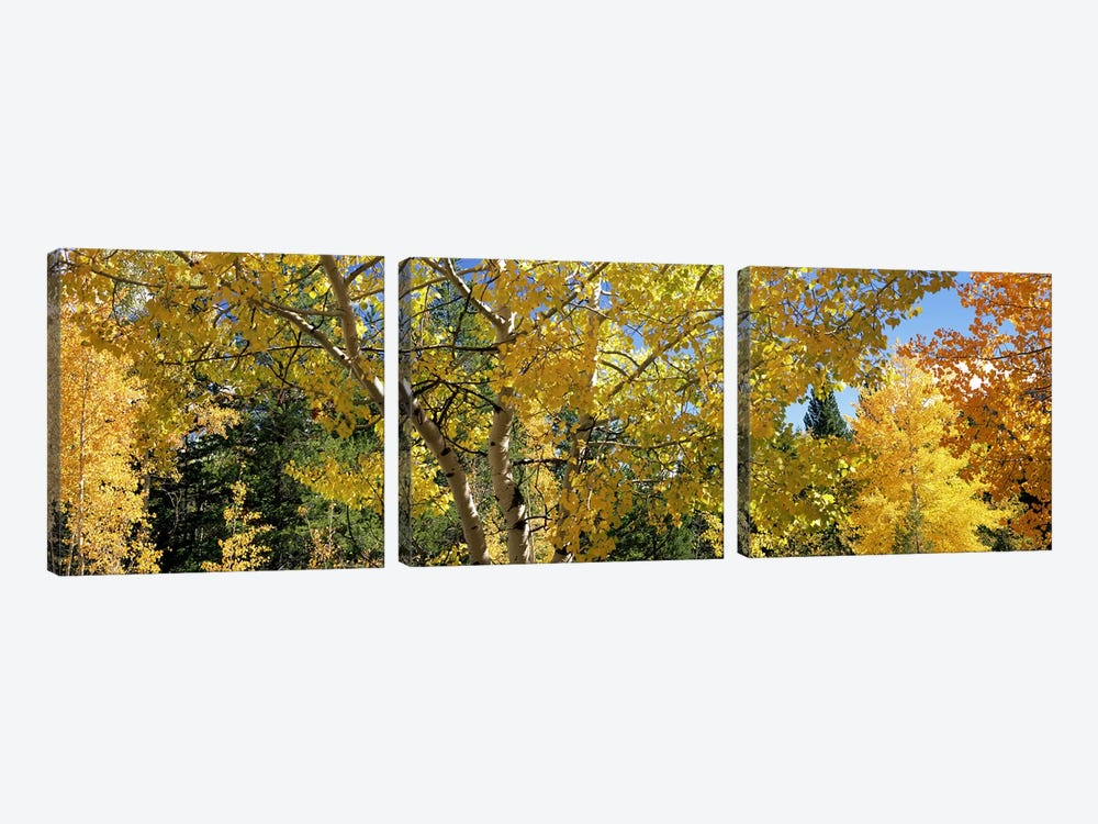 Aspen trees in autumn, Colorado, USA by Panoramic Images 3-piece Art Print