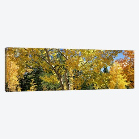 Aspen trees in autumn, Colorado, USA Canvas Print #PIM7460} by Panoramic Images Canvas Art Print