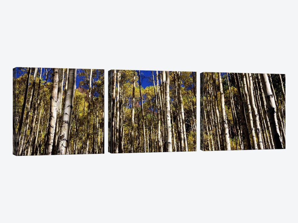 Aspen trees in autumn, Colorado, USA #2 by Panoramic Images 3-piece Canvas Art