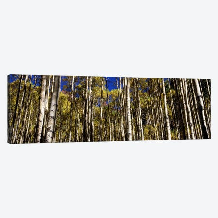 Aspen trees in autumn, Colorado, USA #2 Canvas Print #PIM7461} by Panoramic Images Art Print