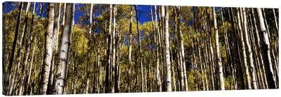 Aspen trees in autumn, Colorado, USA #2 Canvas Art Print