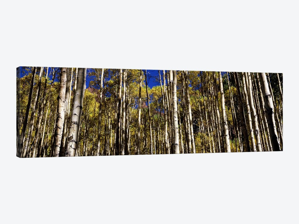 Aspen trees in autumn, Colorado, USA #2 by Panoramic Images 1-piece Canvas Art