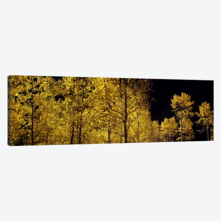 Aspen trees in autumn, Colorado, USA #3 Canvas Print #PIM7462} by Panoramic Images Canvas Print