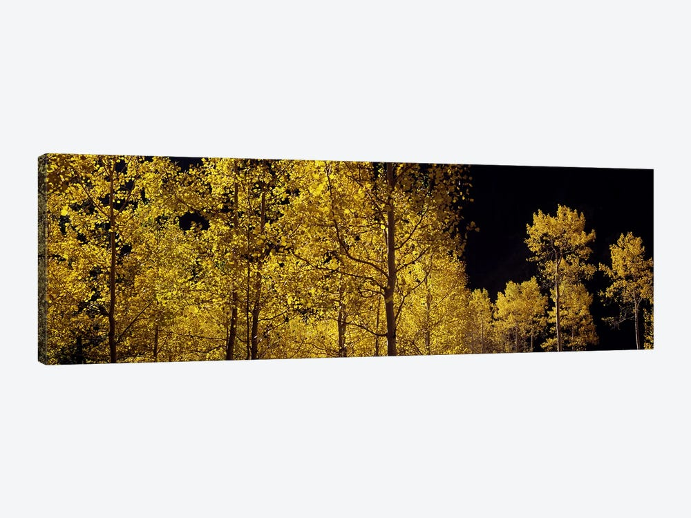 Aspen trees in autumn, Colorado, USA #3 by Panoramic Images 1-piece Art Print