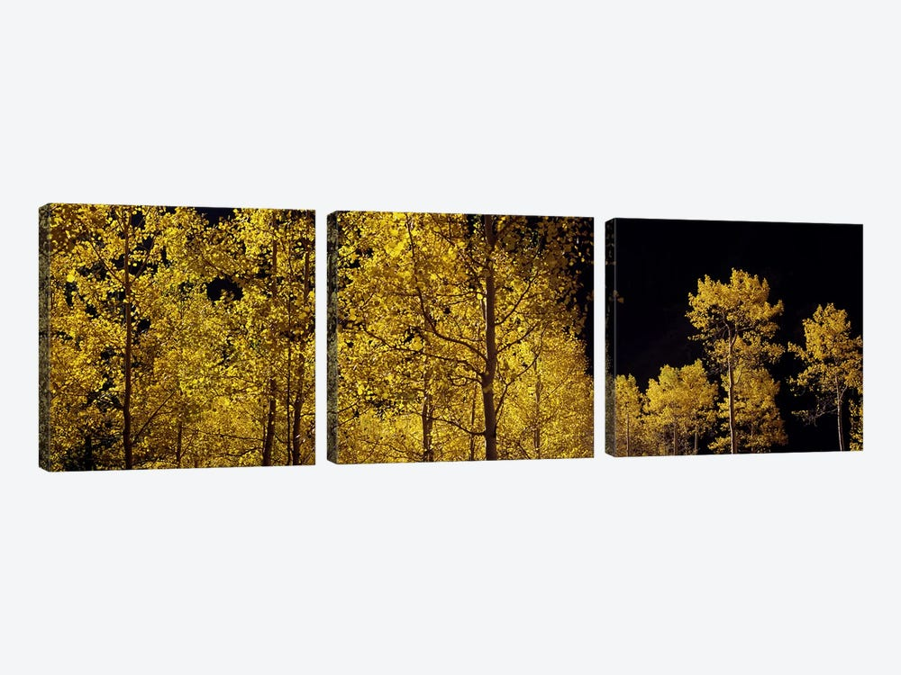 Aspen trees in autumn, Colorado, USA #3 3-piece Canvas Art Print