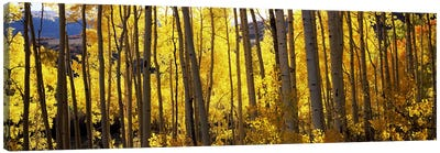 Aspen trees in autumn, Colorado, USA Canvas Art Print