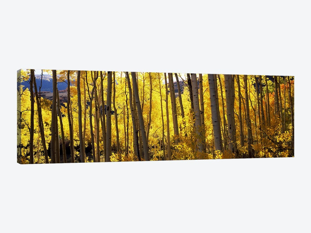 Aspen trees in autumn, Colorado, USA by Panoramic Images 1-piece Canvas Print