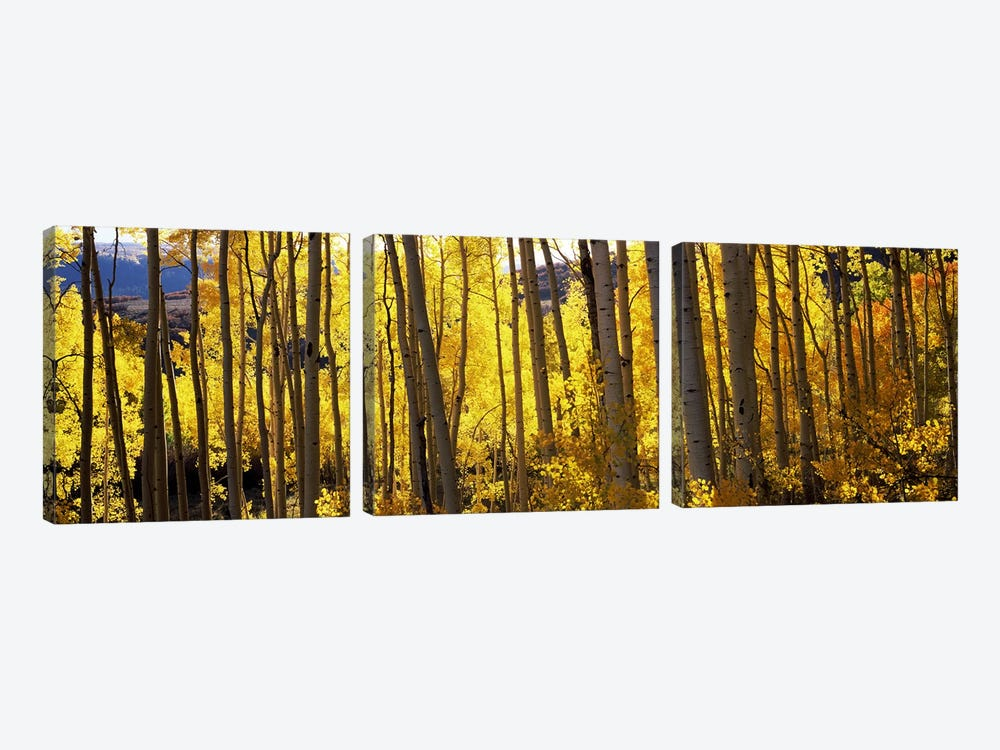 Aspen trees in autumn, Colorado, USA by Panoramic Images 3-piece Canvas Art Print