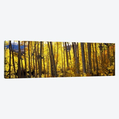 Aspen trees in autumn, Colorado, USA Canvas Print #PIM7464} by Panoramic Images Canvas Artwork