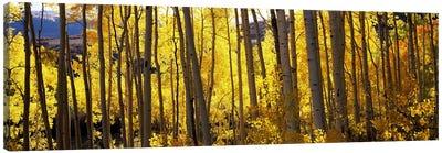 Aspen trees in autumn, Colorado, USA Canvas Art Print