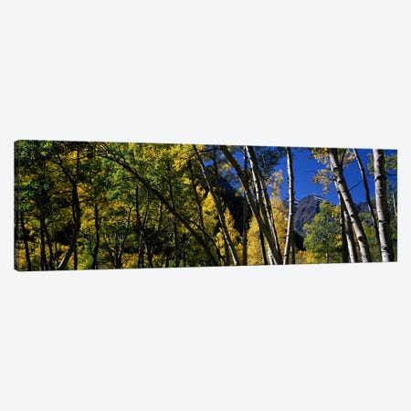 Aspen trees with mountains in the background, Maroon Bells, Aspen, Pitkin County, Colorado, USA Canvas Print #PIM7467} by Panoramic Images Canvas Wall Art