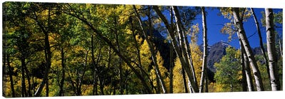 Aspen trees with mountains in the background, Maroon Bells, Aspen, Pitkin County, Colorado, USA Canvas Art Print