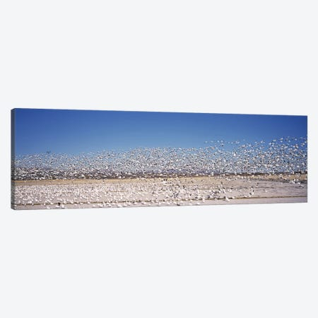 Flock of Snow geese flying, Bosque del Apache National Wildlife Reserve, Socorro County, New Mexico, USA Canvas Print #PIM7487} by Panoramic Images Canvas Artwork