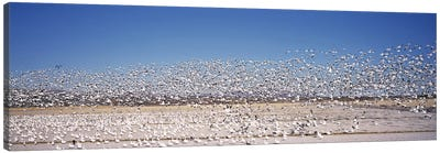 Flock of Snow geese flying, Bosque del Apache National Wildlife Reserve, Socorro County, New Mexico, USA Canvas Art Print