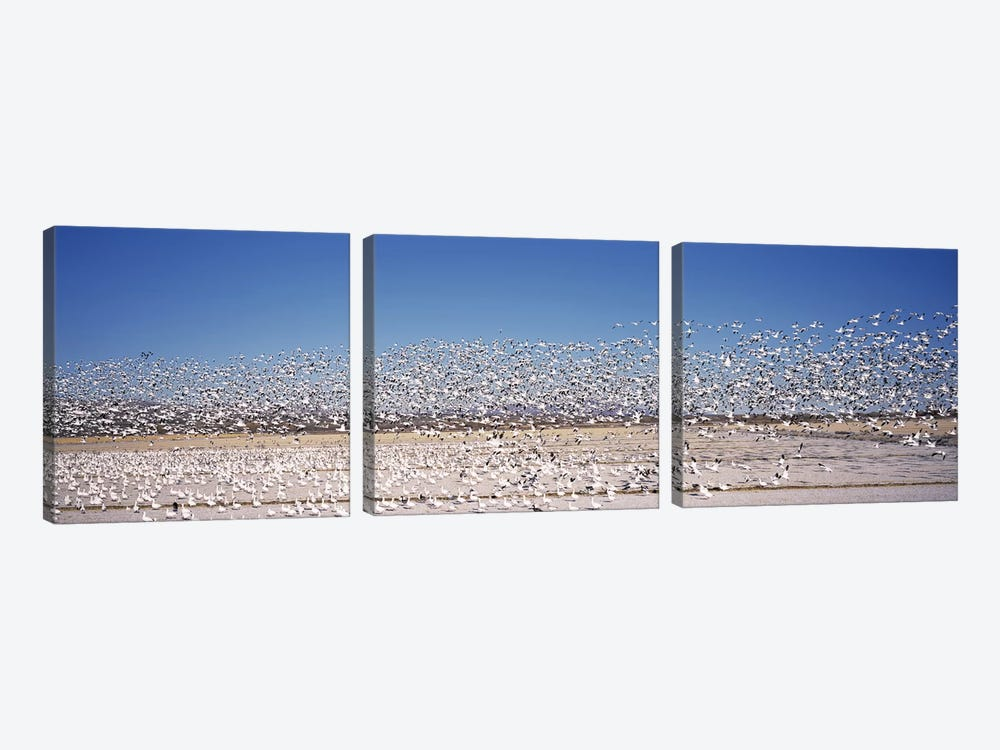 Flock of Snow geese flying, Bosque del Apache National Wildlife Reserve, Socorro County, New Mexico, USA by Panoramic Images 3-piece Canvas Wall Art
