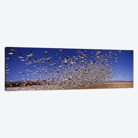 Flock of Snow geese flying, Bosque del Apache National Wildlife Reserve, Socorro County, New Mexico, USA #2 Canvas Print #PIM7488} by Panoramic Images Canvas Art Print