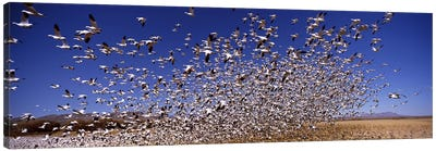Flock of Snow geese flying, Bosque del Apache National Wildlife Reserve, Socorro County, New Mexico, USA #2 Canvas Art Print