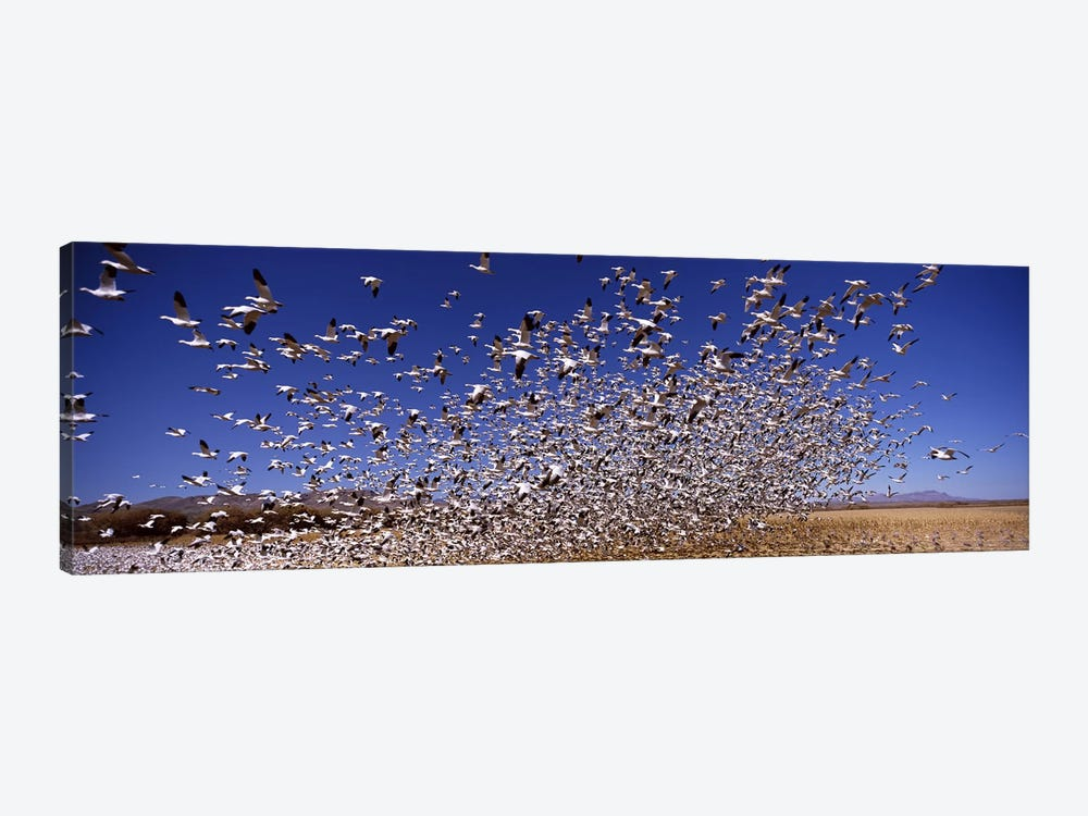 Flock of Snow geese flying, Bosque del Apache National Wildlife Reserve, Socorro County, New Mexico, USA #2 by Panoramic Images 1-piece Canvas Art Print