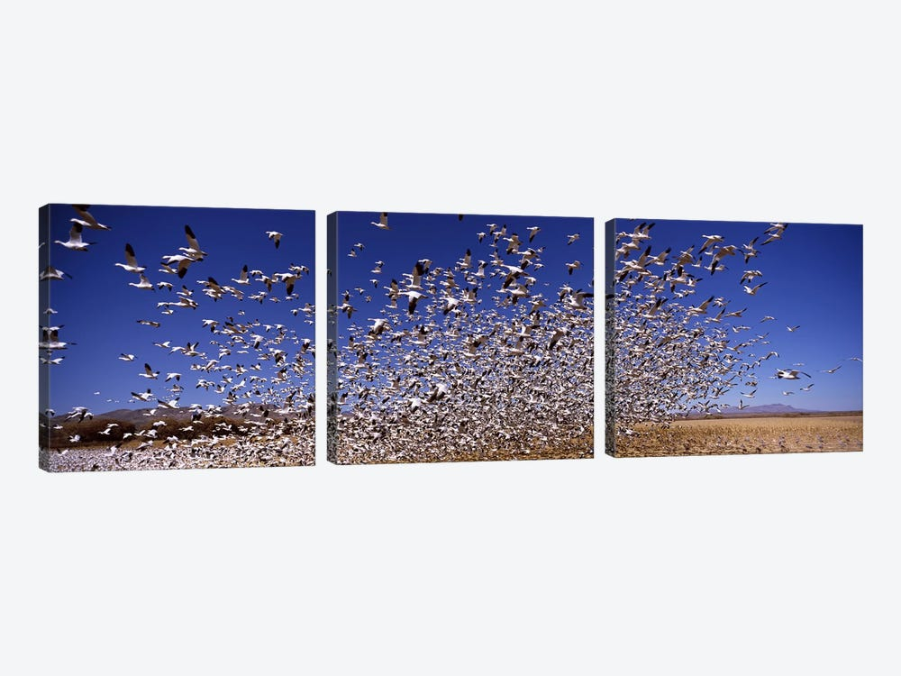 Flock of Snow geese flying, Bosque del Apache National Wildlife Reserve, Socorro County, New Mexico, USA #2 by Panoramic Images 3-piece Art Print