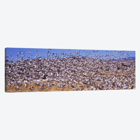 Flock of Snow geese flying, Bosque del Apache National Wildlife Reserve, Socorro County, New Mexico, USA #3 Canvas Print #PIM7489} by Panoramic Images Art Print