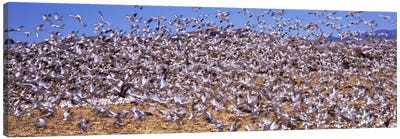Flock of Snow geese flying, Bosque del Apache National Wildlife Reserve, Socorro County, New Mexico, USA #3 Canvas Print #PIM7489