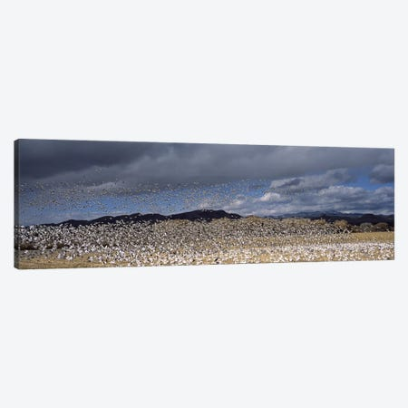 Flock of Snow geese flying, Bosque del Apache National Wildlife Reserve, Socorro County, New Mexico, USA #4 Canvas Print #PIM7490} by Panoramic Images Canvas Art